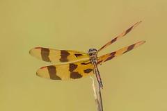HALLOWEEN PENNANT DRAGONFLY (nsxbirder) Tags: celithemiseponina dragonfly halloweenpennant rushrunlake somerville ohio preblecounty