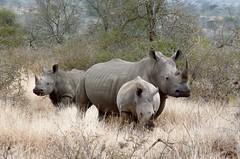 Afrique du Sud - Kruger National Park. (Gilles Daligand) Tags: afriquedusud southafrica krugernationalpark reserve famille rhinoceros