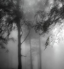 El lloc on viuen les fades (jocsdellum) Tags: monocrom blackandwhite blancoynegro bancinegre bw boira niebla fog bosc bosque wood arbres rboles trees fulles hojasleaves fades hadas fairy