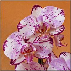 2016.06.14.01 NOISY-LE-GRAND - Orchide (alainmichot93 (Bonjour  tous)) Tags: 2016 france ledefrance seinesaintdenis noisylegrand fleur orchide