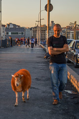 DSC_0516 (zeynepcos) Tags: sheep galata bridge karakoy eminonu istanbul animal city turkey