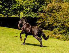 black beauty (PDKImages) Tags: horse equine beauty black gallop movement animal run sleek blackbeauty yorkshire
