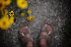Untitled (/KENTAMA) Tags:  rudbeckia flower bokeh feet   sandals summer galaxy milkyway   eos6d nikkor50mmf12 centeroftheuniverse   birkenstock