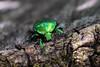 Protaetia (Cetonischema) aeruginosa (Drury, 1770) (sotnik_on) Tags: protaetia rosechafer macro cetoniinae scarabaeidae scarabaeoidea aerugenosa fieberi naturalhistory nature forest ukraine poltava rassoshentsy fieldwork beetles