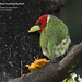 Red-headed Barbet, Eubucco bourcierii