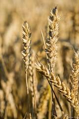 DSC_1134 (Marlon Fried) Tags: macro makro bokeh getreide cereals weizen wheat grain crops field