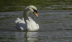 Watching The Kids (IAN GARDNER PHOTOGRAPHY) Tags: muteswan swan wildfowl bird whitebird cygnusolor birdperfect