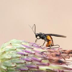 Wasp (Henri Koskinen) Tags: wasp pistiinen helsinki uutela finland 26082016