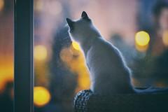 I am the night (Laurence Vagner) Tags: night chat nuit sibrien siberiancat kitten cat