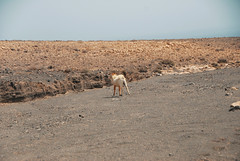 DSC_0072 (RD1630) Tags: fuerteventura summer sunny sun desert islands canary spain jandia nature goat animal sky landscape landschaft outside outdoor