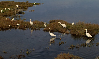 Snowy Egret (Egretta thula) and Great Egret (Ardea alba)