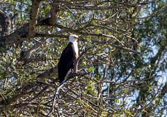 African Fish Eagle - Haliaeetus vocifer - Schreiseeadler (jaffles) Tags: africa nature southafrica wildlife natur olympus safari np südafrika kruger krüger
