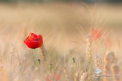 Sortir du lot (photosenvrac) Tags: fleur champ coquelicot beauce moisson bl sigma150 thierryduchamp macrofleursloirenatura2000beaugency