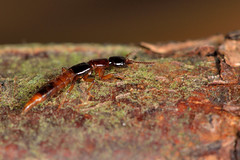 Atrecus affinis (Ian Redding) Tags: uk nature fauna insect wildlife beetle british invertebrate arthropod