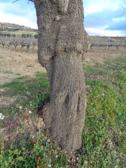 Tronc d'ametller (esta_ahi) Tags: barcelona españa spain árboles árbol tronco tronc almendro almondtree rosaceae cicatriz ametller cultivados prunusdulcis injerto испания vilafrancadelpenedès empelt