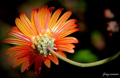 . . QUE EL SOL BRILLE CLIDO SOBRE TU CARA !!! (Clic - Fany Romano 700.000, view thanks) Tags: flores flower color colors colore ngc jardin npc fiori giardino garthen