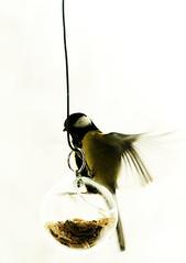 Illusive animals - titmouse (Henrik Bidstrup Jrgensen) Tags: winter white birds garden denmark vinter feeding olympus titmouse greattit sne e510 illusive fugle musvit hvidt mugarden hjeds illusiveanimals