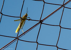 Balancing Act, South Africa (Peraion) Tags: fence southafrica wire cricket grasshopper