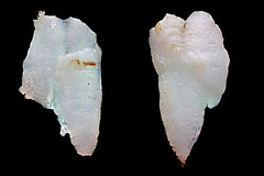 Otoliths_HGedit (Macroscopic Solutions) Tags: fish macro ears squid scales micro bones geology mcb macropod biology microbiology uconn facebook genitalia chordata caco3 eeb macroscopicsolutions