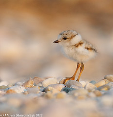 Profile of the smallest (v4vodka) Tags: nature animal wildlife chick birdwatching plover pipingplover shorebird charadriusmelodus pipingploverchick birdbirding sieweczkablada