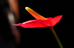 If it's red... (Mike Goldberg) Tags: red flower effects latin theme anthurium hmm mikegoldberg nikond90 macromondays abstractinmacro