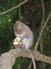 Macaque eating fruit