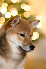 Shiba (beeldmark) Tags: pentax shibainu shiba limited