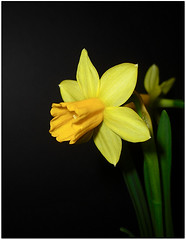 Pops! (shumpei_sano_exp3) Tags: flowers flower macro nature yellow flora daffodil macros masterphotos
