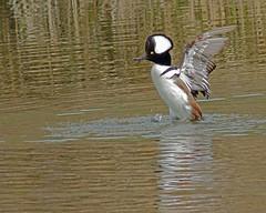 Hooded Merganser (Keith Carlson) Tags: waterfowl hoodedmerganser lophodytescucullatus