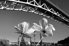 Aurora Bridge (Penseroso) Tags: seattle flowers fremont aurorabridge