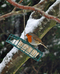 The Robin gets his Prize... (littlestschnauzer) Tags: uk winter red food snow cold male bird nature robin birds garden breast britain wildlife january feeder suet emley 2015