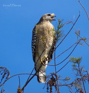 Broad-winged Hawk with something to say