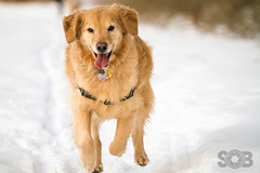   Brady Running in the Snow   (SOBPhotography) Tags: dog chien pet color animal cane digital goldenretriever highresolution canine hond perro domestic hund photograph brady k9 dogphotography domesticanimal colorimage domesticpet animalthemes