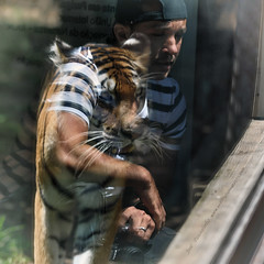 symbioses on glass (Jose Antonio Pascoalinho) Tags: people glass animals reflections zoo moments photographer lisbon tiger biosphere story conceptual capture biodiversity interactions zedith