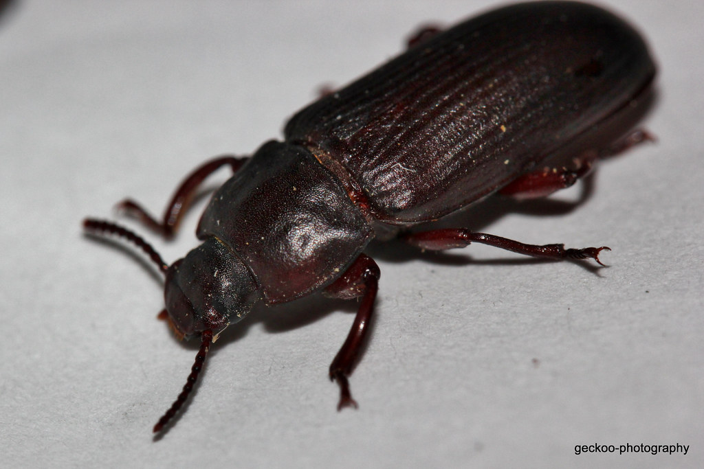 Research paper darkling beetle