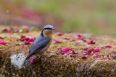 IMG_1981 (sullivan) Tags: nature animal taiwan sullivan  eurasiannuthatch  ef300mmf4lisusm     canoneos7d         adobephotoshoplightroom5 suhaocheng