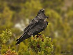 Proud to be a Raven 5418 (Ethan.Winning) Tags: birds yellowstonenationalpark northamerica wyoming commonraven yellowstonelowerfalls ravensandcrows dailynaturetnc13 dailynaturetnc14 ethanwinning