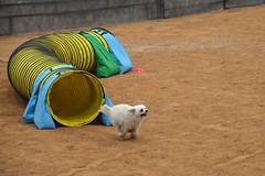 agility264 (jaimekay16) Tags: dog training austin agility k9 xpress nadac k9x