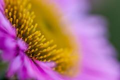 Pink Aster (jadlem) Tags: pink flower macro closeup 100mm petal gerbera stamen daisy 28l aster