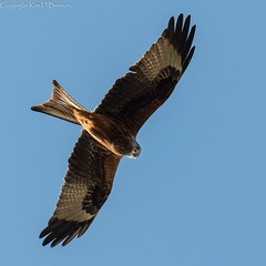 Red kite (kimbenson45) Tags: brown white bird nature flying wings eyes wildlife flight feathers redkite forkedtail