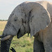 Old elephant in Etosha National Park, Namibia