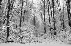 Monotone Winter (hpaich) Tags: winter snow cold tree beach forest newjersey woods snowstorm nj jersey snowfall cliffwood