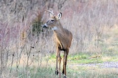 2016 White-tail Buck 3 (DrLensCap) Tags: county white chicago robert animal forest mammal spur illinois woods district tail cook trails il trail rails to buck preserve kramer weber preserves whitetail labagh