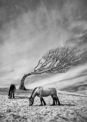 Grazing (Tony Gill) Tags: horses tree monochrome ir infrared ponies