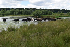 Sutton Park. A great view that might have been taken in any year in the last 100. (Anne & David (Use Albums)) Tags: suttonpark englishcountryside suttoncoalfield cattle drinking