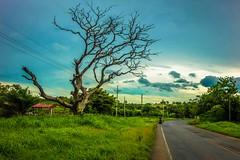Some freaky looking tree near Cañas.