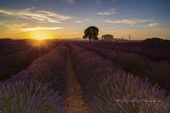 enchanted evening (pixellesley) Tags: valensoleplateau provence lavender flowers field rows ranks lines evening sundown house home tree landscape lesleygooding sunset quiet still tranquil summer goldenhour