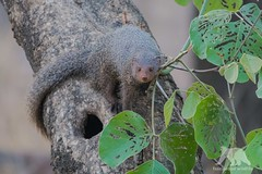 Mongoose (fascinationwildlife) Tags: animal mammal black tip mongoose wild wildlife manguste forest nature natur india asia tree ranthambhore national park indien