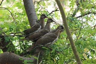 Dove fledglings outside my window_9526