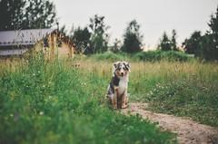 Nature... (Alice Veresova) Tags: nature dog summer miniaussie random randy mydog